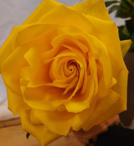 12 Yellow Rose Hand Tied