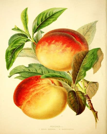 Botanical plate  Peaches, Royal George  - Metal Wall Sign