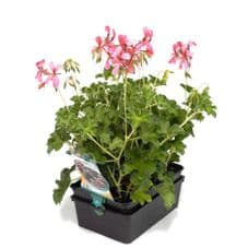 GERANIUM LIERRE SIMPLE ROI DES  BALCONS