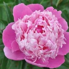 PIVOINES de Collection