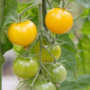 TOMATE GOLD WIN PLANT HORTI SOLOGNE