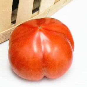 TOMATE PYROS PLANT HORTI SOLOGNE
